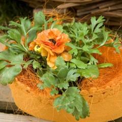 Ранункулюс Меджик F1 оранжевый /50 семян/ *Syngenta*
