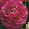 Ранункулюс Меджик F1 розовый /50 семян/ *Syngenta*