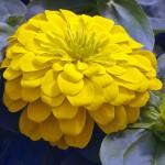 Циния Магелан F1 желтая /100 семян/ *Syngenta*