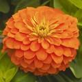 Циния Магелан F1 оранжевая /100 семян/ *Syngenta*
