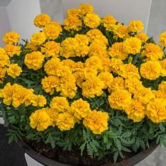 Бархатцы Чика желтые /200 семян/ *Hem Genetics*