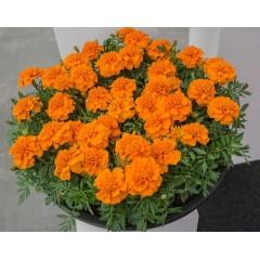 Бархатцы Чика оранжевые /200 семян/ *Hem Genetics*
