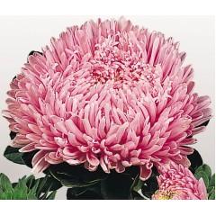 Астра Матадор лососево-розовая /1.000 семян/ *Benary*