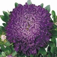 Астра Матадор темно-синяя /1.000 семян/ *Benary*