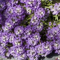 Алиссум Фиолетовый король /5 грамм/ *Hem Zaden*
