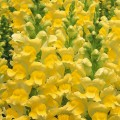 Львиный зев Опус F1 желтый /100 семян/ *Syngenta*