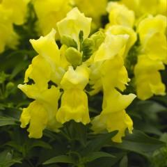 Львиный зев карликовый Монтего F1 желтый /100 семян/ *Syngenta*