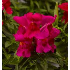Львиный зев карликовый Монтего F1 розовый /100 семян/ *Syngenta*