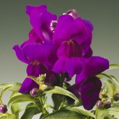 Львиный зев карликовый Монтего F1 фиолетовый /100 семян/ *Syngenta*