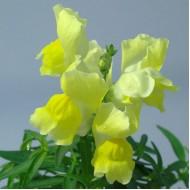 Львиный зев Снеппи F1 желтый /100 семян/ *Hem Genetics*