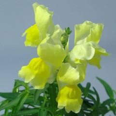 Львиный зев карликовый Снеппи F1 желтый /100 семян/ *Hem Genetics*
