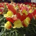 Львиный зев карликовый Снеппи F1 оранжево-желтый /100 семян/ *Hem Genetics*