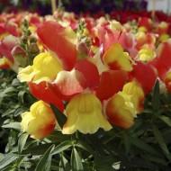 Львиный зев Снеппи F1 оранжево-желтый /100 семян/ *Hem Genetics*