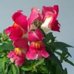 Львиный зев карликовый Снеппи F1 розовый биколор /100 семян/ *Hem Genetics*
