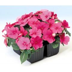 Бальзамин Баланс F1 розовый /100 семян/ *Hem Genetics*