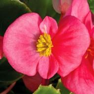 Бегония Бада Бинг F1 розовая /1.000 семян/ *Syngenta*