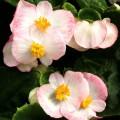 Бегония Бада Бинг F1 розовая биколор /1.000 семян/ *Syngenta*
