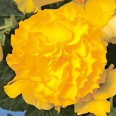 Бегония Гоу-Гоу F1 желтая /100 семян/ *Syngenta*