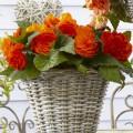 Бегония Гоу-Гоу F1 оранжевая /100 семян/ *Syngenta*