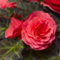 Бегония Гоу-Гоу F1 розовая /100 семян/ *Syngenta*