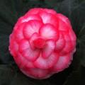 Бегония Гоу-Гоу F1 розовая биколор /100 семян/ *Syngenta*