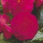 Бегония Гоу-Гоу F1 чери /100 семян/ *Syngenta*