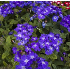 Вербена гибридная Кварц F1 синяя /100 семян/ *Pan American*