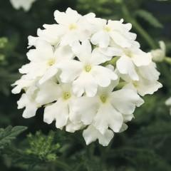 Вербена гибридная Обсешен F1 белая /100 семян/ *Syngenta*