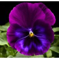 Виола витроока ВандерФолл F1 пурпурно-синяя с прожилками /50 семян/ *Syngenta*