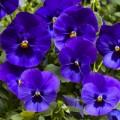 Виола ВандерФолл F1 синяя с глазком /50 семян/ *Syngenta*