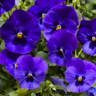 Виола витроока ВандерФолл F1 синяя с глазком /50 семян/ *Syngenta*