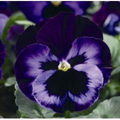 Виола витроока Дельта F1 неон-фиолетовая /100 семян/ *Syngenta*