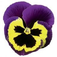 Виола Дельта F1 желтая с пурпурным крылом /100 семян/ *Syngenta*