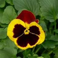 Виола витроока Дельта F1 желтая с красным крылом /100 семян/ *Syngenta*