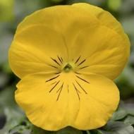Виола Дельта F1 золотисто-желтая /100 семян/ *Syngenta*
