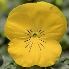 Виола витроока Дельта F1 золотисто-желтая /100 семян/ *Syngenta*