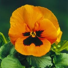 Виола витроока Дельта F1 оранжевая с глазком /100 семян/ *Syngenta*