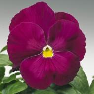 Виола витроока Дельта F1 розовая /100 семян/ *Syngenta*