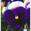 Виола витроока Карма F1 беаконсфилд /100 семян/ *Syngenta*