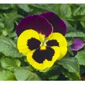 Виола Карма F1 желтая с пурпурным крылом /100 семян/ *Syngenta*