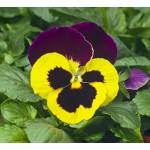 Виола витроока Карма F1 желтая с пурпурным крылом /100 семян/ *Syngenta*