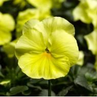 Виола витроока Карма F1 лимонная /100 семян/ *Syngenta*
