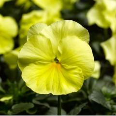 Виола Карма F1 лимонная /100 семян/ *Syngenta*