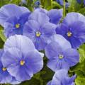 Виола витроока Карма F1 небесно-синяя /100 семян/ *Syngenta*