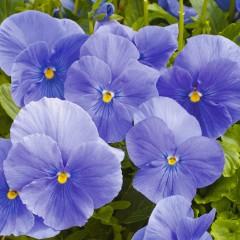 Виола Карма F1 небесно-синяя /100 семян/ *Syngenta*