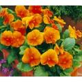 Виола витроока Карма F1 темно-оранжевая /100 семян/ *Syngenta*