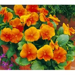 Виола Карма F1 темно-оранжевая /100 семян/ *Syngenta*