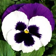 Виола витроока Колоссус F1 белая с пурпурным крылом /100 семян/ *Syngenta*