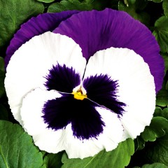 Виола Колоссус F1 белая с пурпурным крылом /100 семян/ *Syngenta*