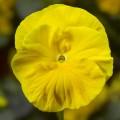 Виола витроока Колоссус F1 желтая /100 семян/ *Syngenta*